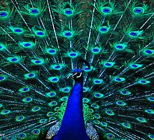 Peacock by DiverDeb