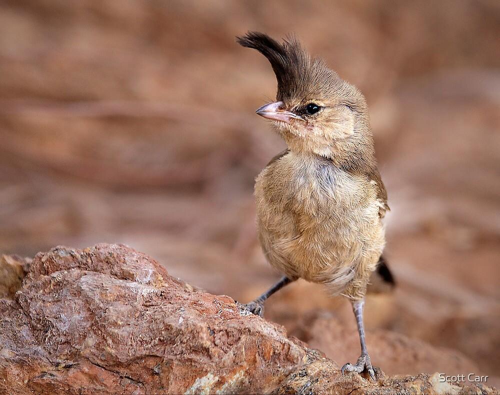 Chiming Wedgebill by Scott Carr