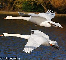 mute swan flight by Steve Shand