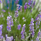 lavender by Barbara Neveu