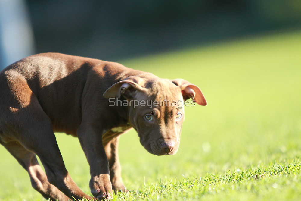 American Pit Bull Terrier dog with funny expression, taken at an angle by Sharpeyeimages