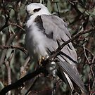 Kite in a Tree by Phillip Weyers