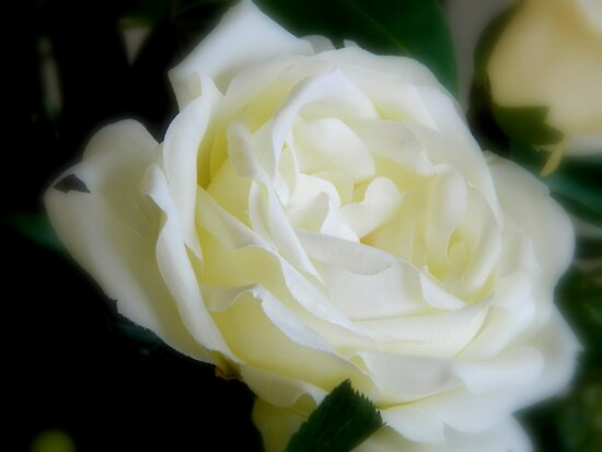White Rose  ^ by ctheworld