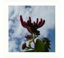Honeysuckle buds against the sky Art Print