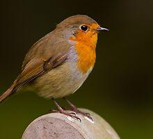 Robin (Erythacus rubecula) by Gabor Pozsgai
