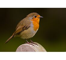 Robin (Erythacus rubecula) Photographic Print