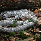 Gray Rat Snake by Michael L Dye