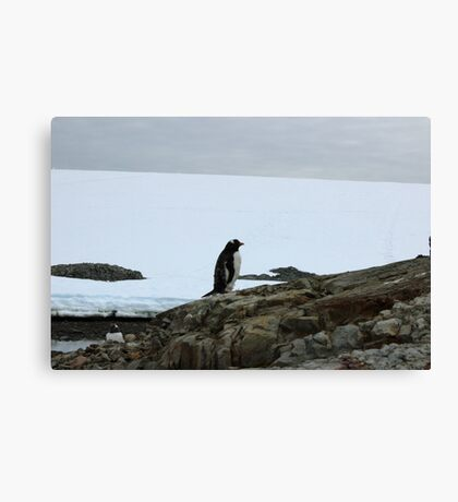 Lone Penguin Canvas Print