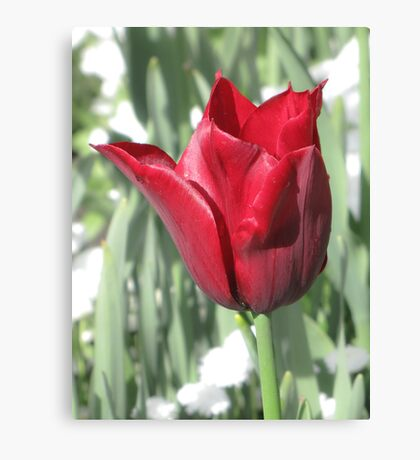 Butchart Gardens - Red Tulips  Canvas Print