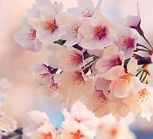 Sakura Cherry Blossom, Nara, Japan by Michael Thomas