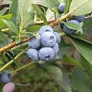 Maine Blueberries  by Karla  Cyr