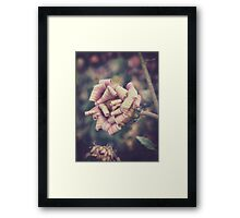 sweet pink african daisy Framed Print