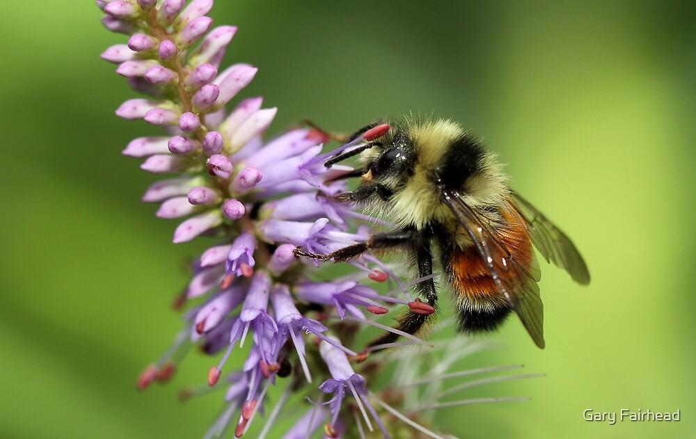 Tri-Colored Bumblebee by Gary Fairhead