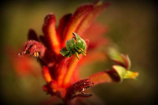 King's Park Kangaroo Paw by Michelle Cocking