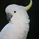 Portrait of a Sulphur-crested Cockatoo by aussiebushstick