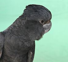 Portrait of a Red-tailed Black Cockatoo by aussiebushstick