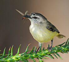 Yellow-rumped Thornbill by DIZZYHEIGHTS