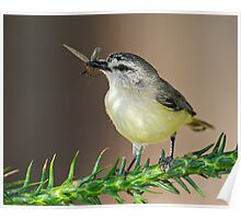 Yellow-rumped Thornbill Poster