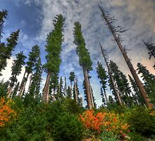Tall Timber by Charles & Patricia   Harkins ~ Picture Oregon