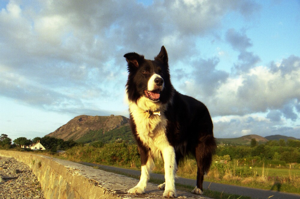 Indy: A Collie For All Seasons. by Michael Haslam