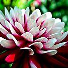 Dahlia Flower by Vicki Field
