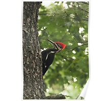 Pileated Woodpecker~ Poster
