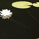 Water Lily by mcstory