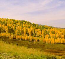 Colorado Aspens by Brian Harig