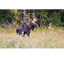Profile of a Moose Photographic Print