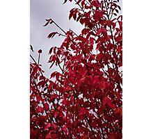 Fire Bush Gray Sky Photographic Print