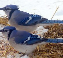 Pair of Blue Jays by bholtan