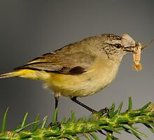 Yellow-rumped Thornbill  2# by DIZZYHEIGHTS