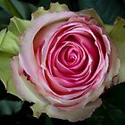 Pink Rose Spiral by Bo Insogna