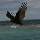 Turkey Vulture In Flight ~ by Renee Blake