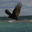 Turkey Vulture In Flight ~ by Renee Blake