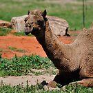 African Camel by Luke Donegan