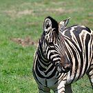African Zebra by Luke Donegan