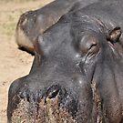 Lazy African Hippopotamus by Luke Donegan