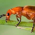 Red Soldier Beetle by Keld Bach