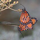 Queen butterflies mating by ruth  jolly