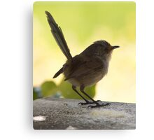 Female Redwing Wren Canvas Print