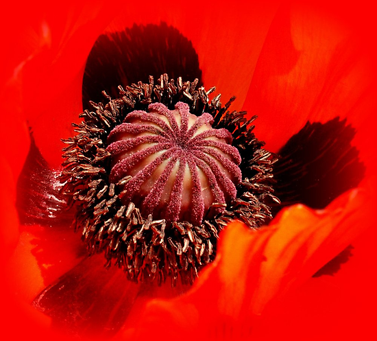 Papaver by hanslittel