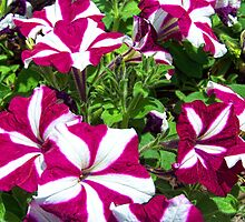 Candy Striped Petunias by James Brotherton