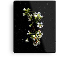 Chamelaucium uncinatum (Geraldton Wax). Flower scan. Metal Print