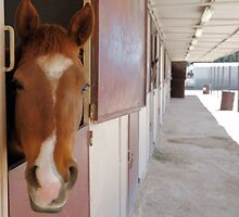 Horse peeking out of his stall by Jeff Knapp