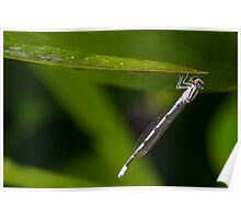 Black and White striped Dragonfly Poster