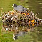 Common Coot  by M.S. Photography/Art