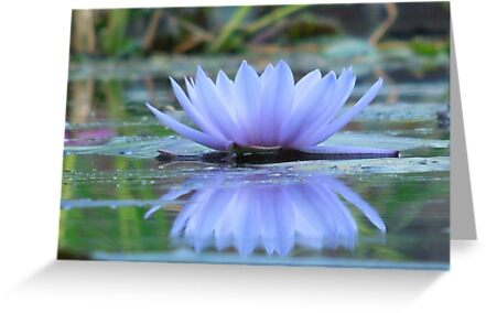 Beautiful Reflections of A Water Lily by staceyh1974