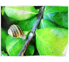 Snail on Leaf Poster