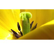Yellow Tulip Pistil and Stamens - Macro Photography Photographic Print